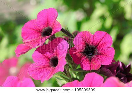 Three beautiful pink petunia flowers close up
