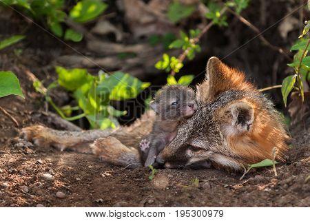 Grey Fox (Urocyon cinereoargenteus) Vixen and Kit Snuggle in Den - captive animal