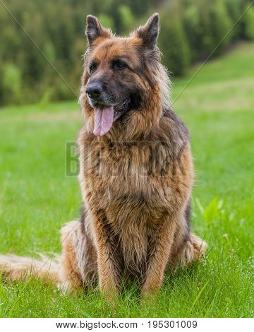 German Shepherd Female Adult Dog Looks Attentively In Retezat Mountains Romania