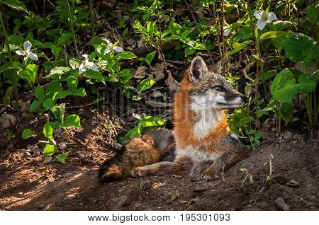 Grey Fox (Urocyon cinereoargenteus) Vixen Looks Right From Den - captive animal