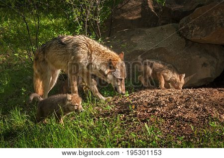 Grey Wolf (Canis lupus) and Pups Run Near Den - captive animals