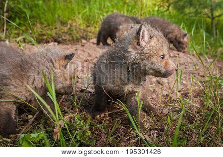 Red Fox (Vulpes vulpes) Kits Mill Around Den - captive animals