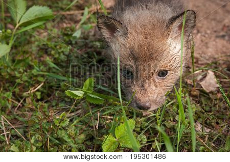 Red Fox Kit (Vulpes vulpes) Head - captive animal