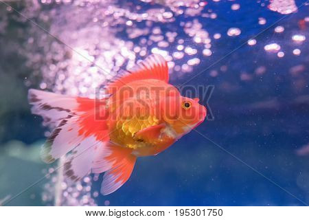 gold fishes over water