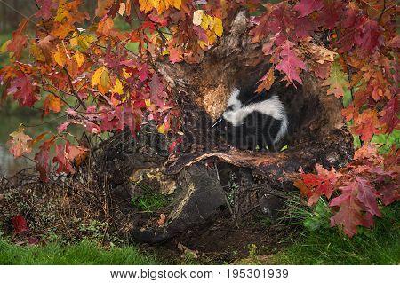 Striped Skunk (Mephitis mephitis) Sits Inside Log - captive animal
