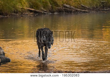 Wet Grey Wolf (Canis lupus) Walks Out of River - captive animal