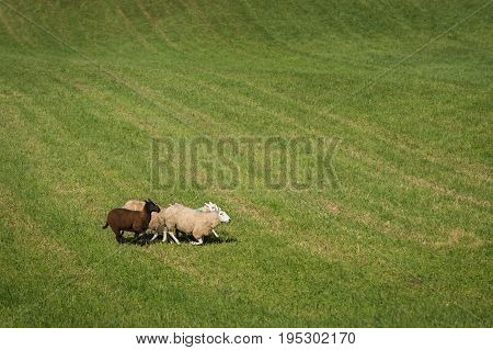 Group of Sheep (Ovis aries) Run Through Field - at sheep herding trials