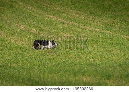 Stock Dog Stalks Right - at sheep herding trials