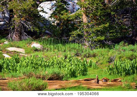 Lush green meadow surrounded by Pine Trees taken in the Sierra Nevada Mountains, CA