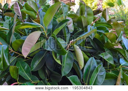Thickets of ficus on the street. Cyprus. Natural background