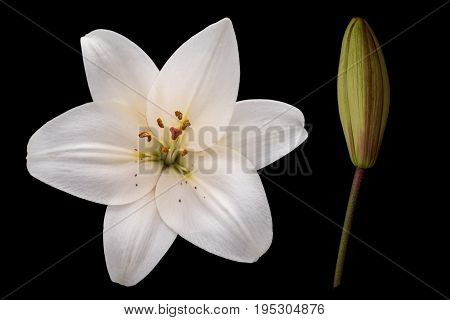 Flower and bud of lily (Lilium candidum) on a black background