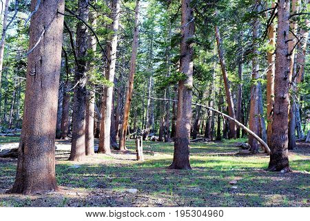 Rural lush green pine tree forest taken in the Sierra Nevada Mountains, CA