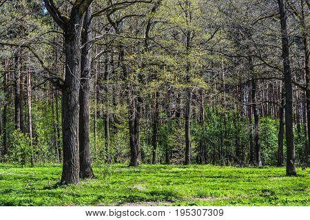 Summer oak forest. Spring landscape. Oak forest.