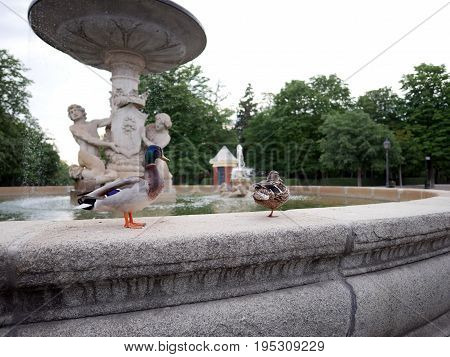 Two Mallard ducks stand on the edge of fountain at El Retiro Park in Madrid Spain.