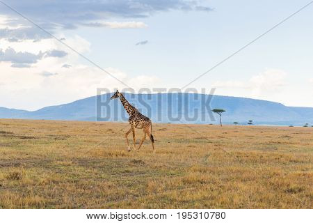 animal, nature and wildlife concept - giraffe in maasai mara national reserve savannah at africa
