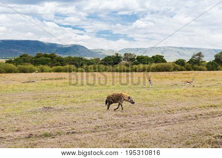 animal, nature and wildlife concept - hyena and thomsons gazelles in maasai mara national reserve savannah at africa