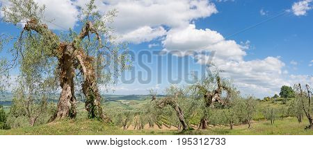 Old olive trees and grape vines under a blue sky with some puffy clouds in panorama in a landscape in Tuscany Italy.