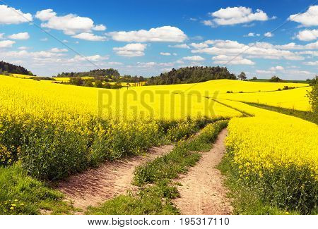 Field of rapeseed canola or colza in Latin Brassica napus with rural road and beautiful cloud rapeseed is plant for green energy and green industry springtime golden flowering field