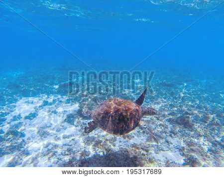 Green sea turtle underwater photo. Sea turtle in blue water. Marine tortoise swims in shallow seawater. Sunny tropical lagoon and marine animal. Endangered marine species. Tropical seashore wildlife