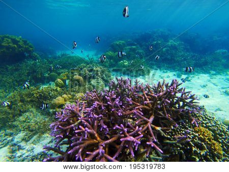 Underwater landscape with purple coral. Coral reef undersea photo. Seashore view. Sea bottom with colorful coral ecosystem. Tropical seashore snorkeling. Marine relief landscape. Tropic lagoon