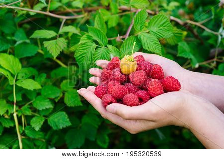 Woman Hands Holding Fresh Raspberries At The Garden On Green Bush Background, Free Space. Ripe Red O
