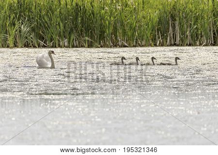 Mute Swans in Water with grass in the background.