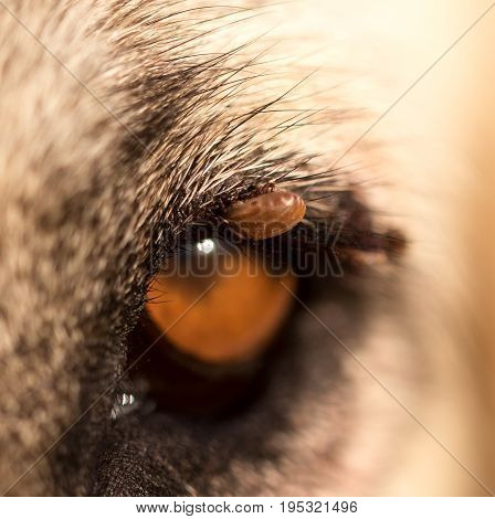 Mites on the eye of a dog. macro