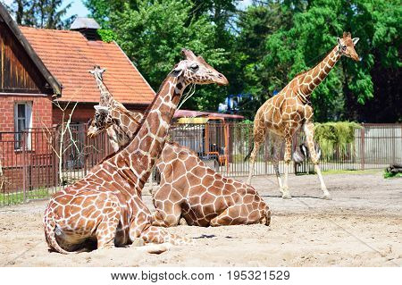 giraffes in the zoo safari park. Animals in the zoo.