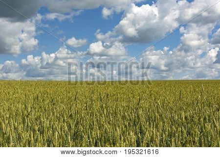 field sown with wheat cereals blue sky with clouds