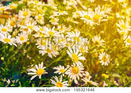 Field Of White Camomile Flowers, Selective Focus, Toned. Blooming Chamomile Field. Chamomile Flowers