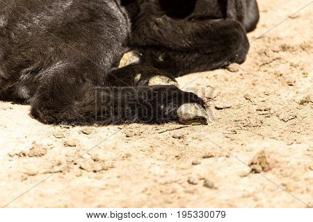 Hooves of a little black kid on the farm .