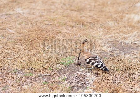 Hoopoe with a caught beetle for food on a background of faded brown grass