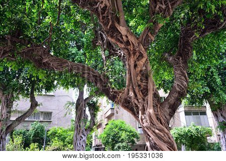 Huge trees of ficus on the street in Tel Aviv.
