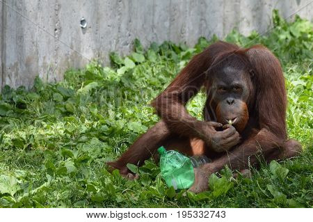 An orangutan playing with enrichment outside during summer