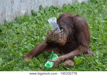 Orangutan playing with enrichment in the outdoors