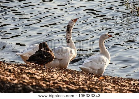 Geese and Duck Standing Near Scenic Water