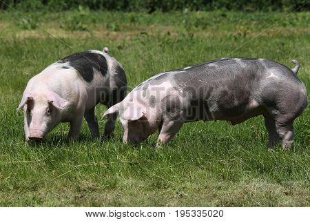 Duroc breed pigs posing at animal farm on pasture