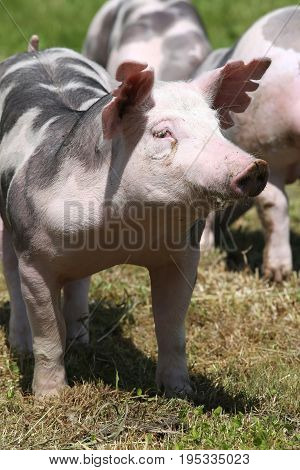 Duroc breed piglet posing at animal farm on pasture