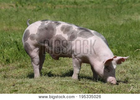 Duroc pig grazing on the meadow. Young duroc breed pig on natural environment