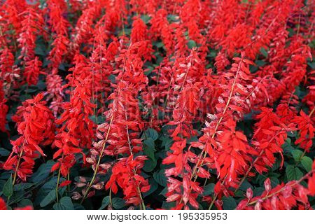 Red flower garden alpinia purpurata, red ginger lily,  red cone ginger, ostrich plume,.