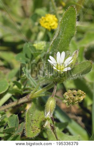 Common Mouse-ear