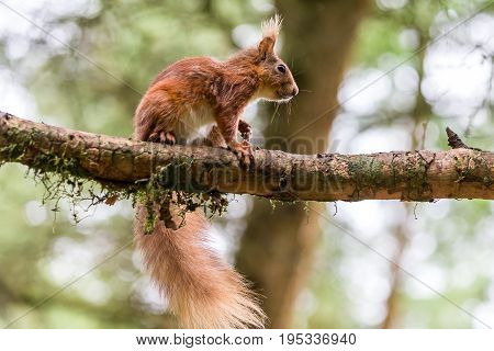 Red Squirrel At Snaizeholme, Hoar