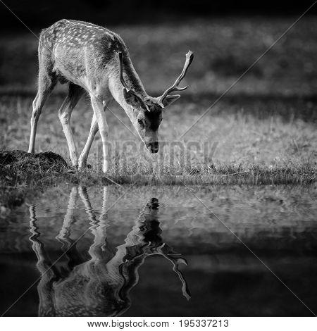 A fallow Deer Buck At Bradgate Park UK