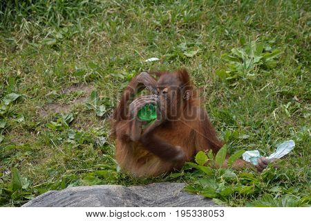 A baby orangutan playing with enrichment outdoors