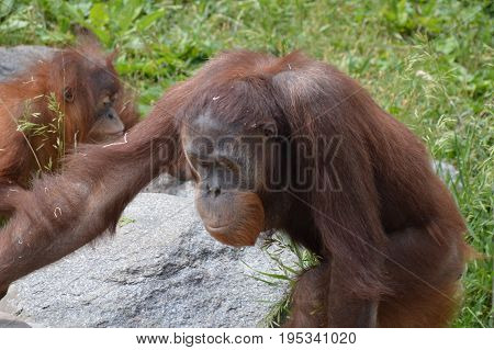 A young male orangutan in the outdoors
