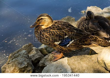 Waterfowl duck brown with blue plumage on wings stands on a stone against the background of water