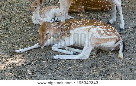 young deer in the spot sleeping on the ground the second he looks into the distance with curiosity