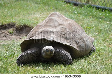 A Galapagos tortoise in the green grass