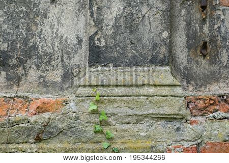 Plant Growing Over Old Damaged Wall , Closeup