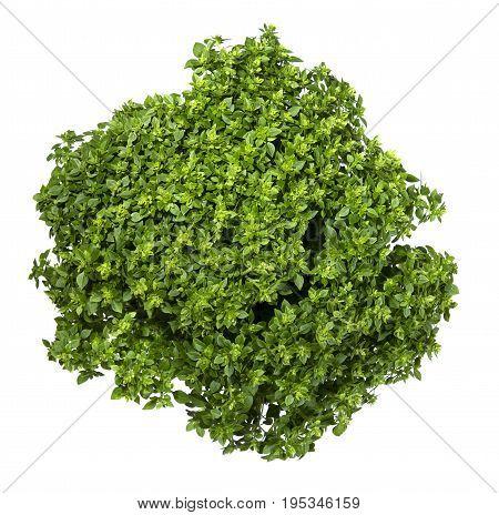 Fresh leaves of a Greek dwarf basil on a white background